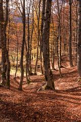 Alberi (SDB79) Tags: bosco sottobosco alberi foglie foliage autunno parconazionaleabruzzo pizzone