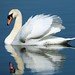 Swan on Show