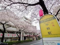 IMGP5692 (digitalbear) Tags: pentax q7 08widezoom 17528mm f374 nakano doori sakura cherry blossom blooming full bloom tokyo japan araiyakushi arai yakushi baishoin