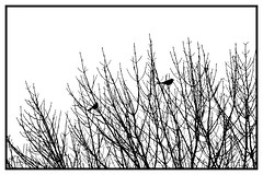 Blackbirds in the Branches (imageClear) Tags: blackandwhite bw contrast highkey bright white birds silhouette branches tree bold aperture nikon d500 80400mm nature wildlife photostream flickr imageclear picmonkeycom framed