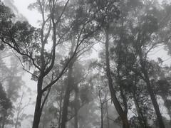 Bemboka NSW, 2017 (jamiehladky) Tags: mist forest bemboka brownmountain misty fog tree eucalypt eucalyptus australia nsw trees digital samsung galaxy s6