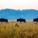 Three Wildebeests