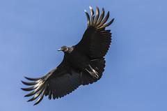 Turkey vulture (Klaus Ficker --Landscape and Nature Photographer--) Tags: bird turkeyvulture buzzard nature animal usa kentucky kentuckyphotography klausficker canon eos5dmarkiv sigma120300mm