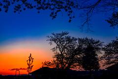 Cherry Blossoms in The Twilight : 残照の桜花 (Dakiny) Tags: 2017 spring april night twilight japan kanagawa yokohama aoba ichigao outdoor nature park city street lanscape plant flower blossom cherry cherryblossom nikon d7000 sigma 1770mm f284 dc os hsm sigma1770mmf284dcmacrooshsm nikonclubit