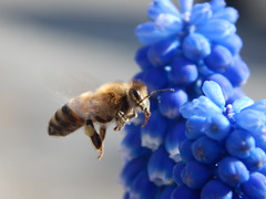 Bee and Grape Hyacinth (starmist1) Tags: bee flying hyacinth grape grapehyacinth flower flowers frontgarden maggiesgarden flyinginsect insect entomology april sunny