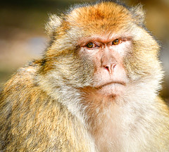 Barbary Ape-Barbary Macque (ronniegoyette) Tags: march2017 middleatlasmtnsmoroccovacation mildelttoazrou cedar forest barbarymacque barbaryape monkey adult grumpy