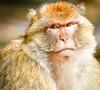Barbary Ape-Barbary Macque (ronniegoyette) Tags: march2017 middleatlasmtnsmoroccovacation mildelttoazrou cedar forest barbarymacque barbaryape monkey adult grumpy