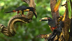 Pair of Collared Aracari (ott.geoffrey) Tags: sarapiqui costarica collaredaracari aracari bird birding birdwatching pair two toucan wildlife animals centralamerica colorful red black yellow nature