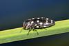 Jewel beetle (jeans_Photos) Tags: jewelbeetle westernaustralia jandakotregionalpark fraserroad canningvale