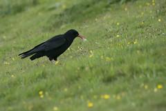 Chough (lord wardlaw) Tags: chough gwynedd north wales wildlife sony sigma