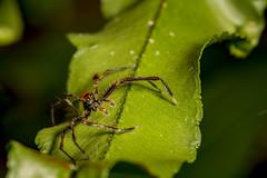 Cony Island Spider (thecrapone) Tags: singapore spider cony island wildlife nature