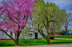 Spring Trees (kendoman26) Tags: springtrees springshrubs redbuds nikon nikond7100 nikon35mm nikonafs35mm nikorafs35mm dx hdr nikhdrefexpro2 morrisillinois spring