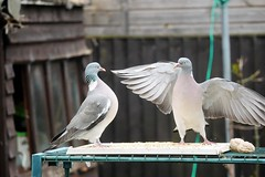 21 April 2017 (10) (AJ Yakstrangler) Tags: yakstrangler pigeon pigeons