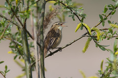 Sedge Warbler (andyno43) Tags: warbler sedgewarbler animal nature canon1dx canonef600mm bird canon country perched framptonmarsh hedgerow wildlife lincolnshire small common outdoor tree