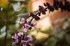 Flor de Albahaca (sierramarcos14695) Tags: quetzaltenango gautemala sony a58 minolta rokkor explorando ciudad cotidianidades jardin belleza nature naturaleza macro profundiad de campo hojas planta albahaca flo flor