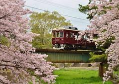 阪急電車 Hankyu-train (marionetteMay) Tags: cherryblossom train spring flower