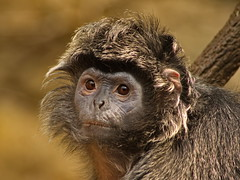 Ebony Langur 3 (dennisgg2002) Tags: bronx zoo new york city ny nyc