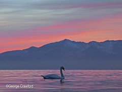 Sunset and Swan1 (g crawford) Tags: ayrshire northayrshire nac crawford westkilbride seamill arran clyde firthofclyde riverclyde swan swans bird birds sunset sundown gloaming