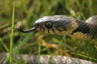 Ringslang - Natrix natrix - Grass Snake