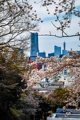 2017 Yokohama Spring (shinichiro*) Tags: 20170402sdq1782 2017 crazyshin sigmasdquattro sdq sigma1770mmf284dcmacrohsm april spring flower sakura cherryblossoms yokohama kanagawa 33419732180 963146 gettying