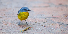 Robin (Australia's Wildlife) Tags: animal bird bluemountains easternyellowrobin fauna katoomba newsouthwales robin