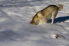 Face plant (wilderness_wanderer) Tags: dog malamute alaskanmalamute outdoor alberta snow winter