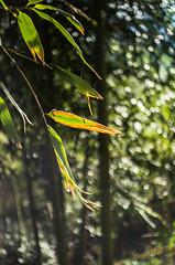 Bambu (ΞSSΞ®®Ξ) Tags: ξssξ®®ξ pentax k5 bambu angle 2017 bokeh green depthoffield plant garden outdoor kepcorautowideanglemc28mm128