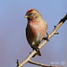 Redpoll (mike turtle) Tags: wales redpoll lesserredpoll