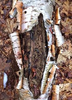 #Birchbark #rottingtree #inthewoods #pealingbark #fallintrees #ontheground #mikeliebler