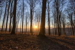 Golden Hour in the Forest (<-Y->) Tags: goldenhour beechforest forest tree outdoor sunset sun rónabánya szilváskő uwa tokina116 tokina1116 backlight spring shadows