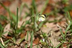 DSC_1061 (joemdo) Tags: barredyellow euremadaira
