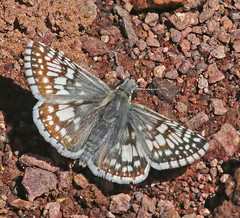 CAD0006489a (jerryoldenettel) Tags: 170330 2017 blackcanyon commoncheckeredskipper hesperiidae nm pyrginae pyrgus pyrguscommunis socorro socorroco butterfly checkeredskipper insect skiipper