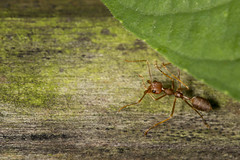 Cony Island Red Ant (thecrapone) Tags: singapore red ant cony island wildlife nature