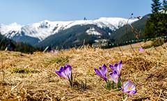 Krokusy - Dolina Chochołowska (TobikPL) Tags: krokusy tatry dolina chocholowska wiosna