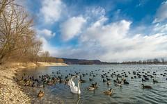 lake Zajarki (097) (Vlado Ferenčić) Tags: lakes winter lakezajarki swans swansfamily birds ducks zajarki zaprešić croatia hrvatska nikond600 nikkor173528 animals animalplanet vladoferencic