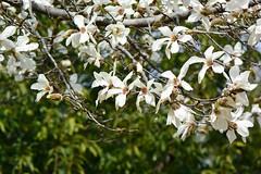 kobushi_17323a (takao-bw) Tags: コブシ 辛夷 kobushi magnolia モクレン科 magnoliaceae woodyplant 木本 plant 植物 japan