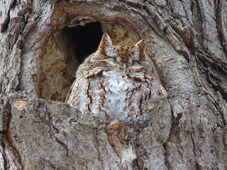 Petit-duc maculé / Eastern screech-owl / Otus asio / IMG_3458_lzn1-1
