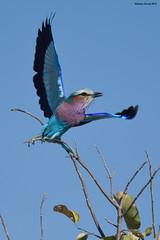 Lilac-Breasted Roller (naturalturn) Tags: fly lilacbreastedroller roller savanna savuti chobe chobenationalpark botswana image:rating=5 image:id=205549
