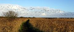 DSC02187 (EddTheDuck84) Tags: birds murmuration