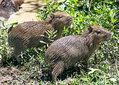 A couple of Capybara (RiserDog) Tags: capybara argentinianwetlands coloniacarlospellegrini corrientesargentinasouth america