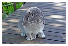 2017.04.08 Nabilla (2) (garyroustan) Tags: lapin coehlo conejo rabbit animal animals france french paris