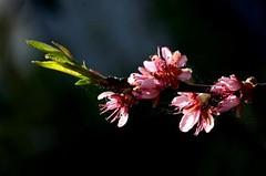 Les fleurs sont jolies, dès que le printemps revient 02 (letexierpatrick) Tags: fleurs flowers jardin printemps couleurs colors macro botanique rose nikon
