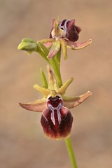 Ophrys mammosa (Henry Hemming) Tags: akamas peninsula spring orchid ophrysmammosa spider bee easternmediterraneancyprus
