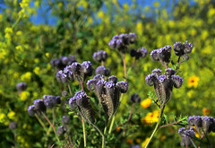 Caterpillar Phacelia and Mustard Plants (Zeetz Jones) Tags: superbloom wildflowers nature ranchopalosverdes portuguesebendreserve superbloom2017 rollinghills southerncalifornia