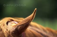 ZOO0071 (Akira Uchiyama) Tags: 動物たちのいろいろ 耳 耳ウマ