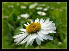 Gänseblümchen (karin_b1966) Tags: blume flower blüte blossom wildblume wildflower garten garden natur nature makro macro frühling spring 2017 gänseblümchen