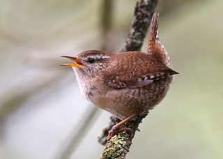 Wren ANR 7th April 2017