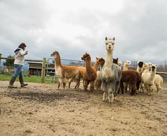 medina-7696 (FarFlungTravels) Tags: alpaca animal farm medinacounty onefineday shear wool