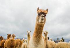 medina-7689 (FarFlungTravels) Tags: alpaca animal farm medinacounty onefineday shear wool