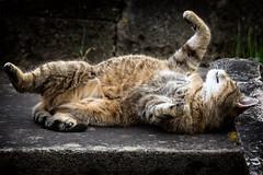 Springroll... (Alex M. Wolf) Tags: cat katze gato gatto gatta gata feline felidae felin felino alexmwolf canon eos5dmkiii roll rollen spring springtime frühling chat